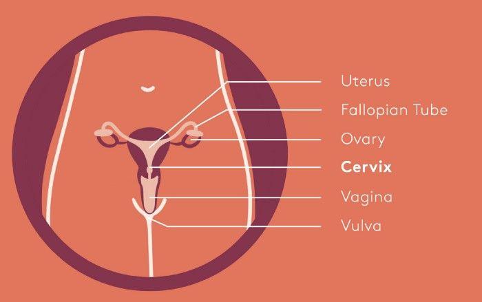 vagina illustration with labels