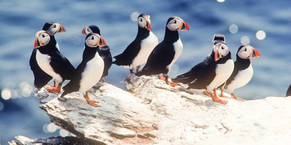 puffins arriving in iceland