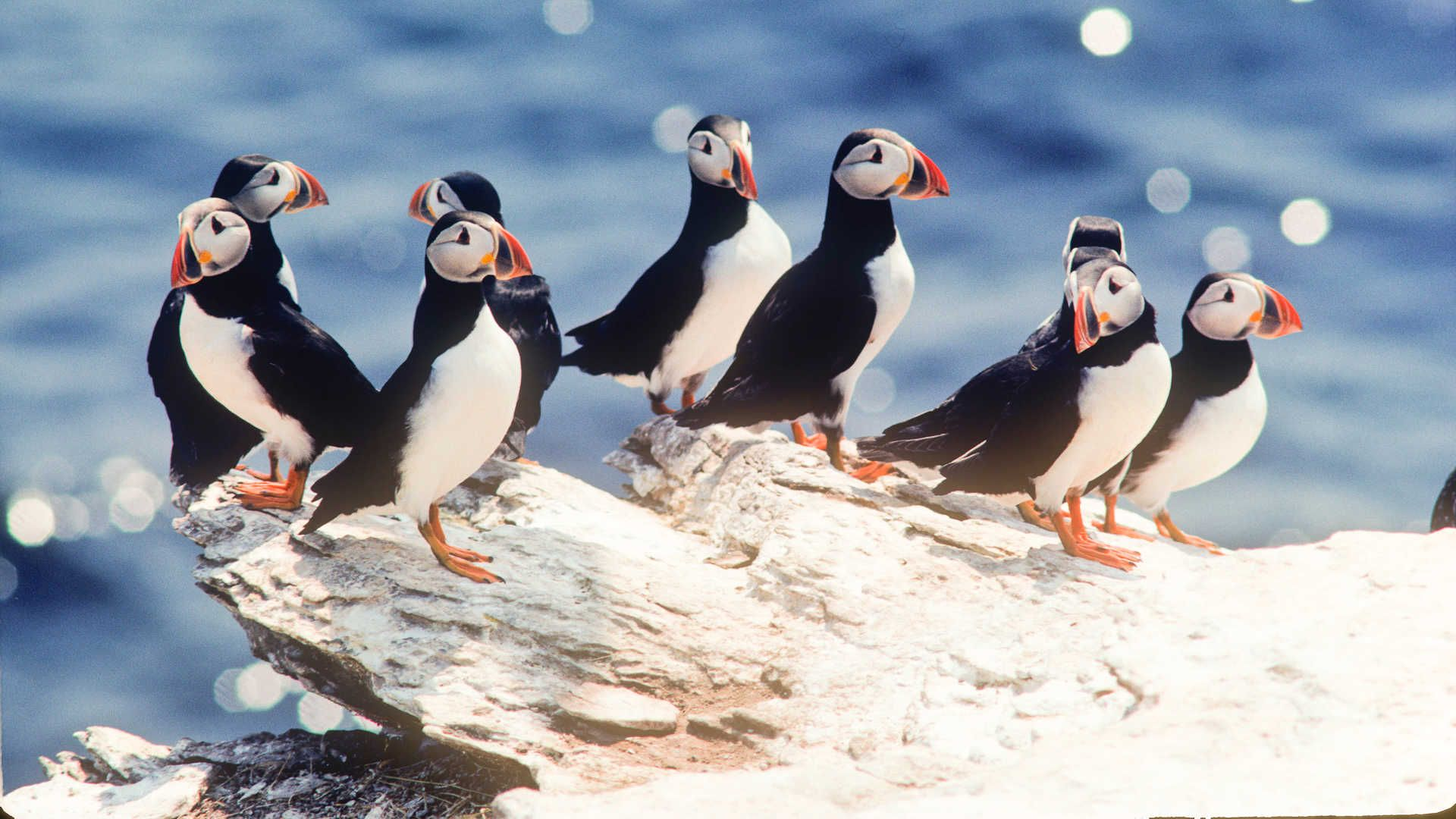 Puffins arriving to Iceland in summer