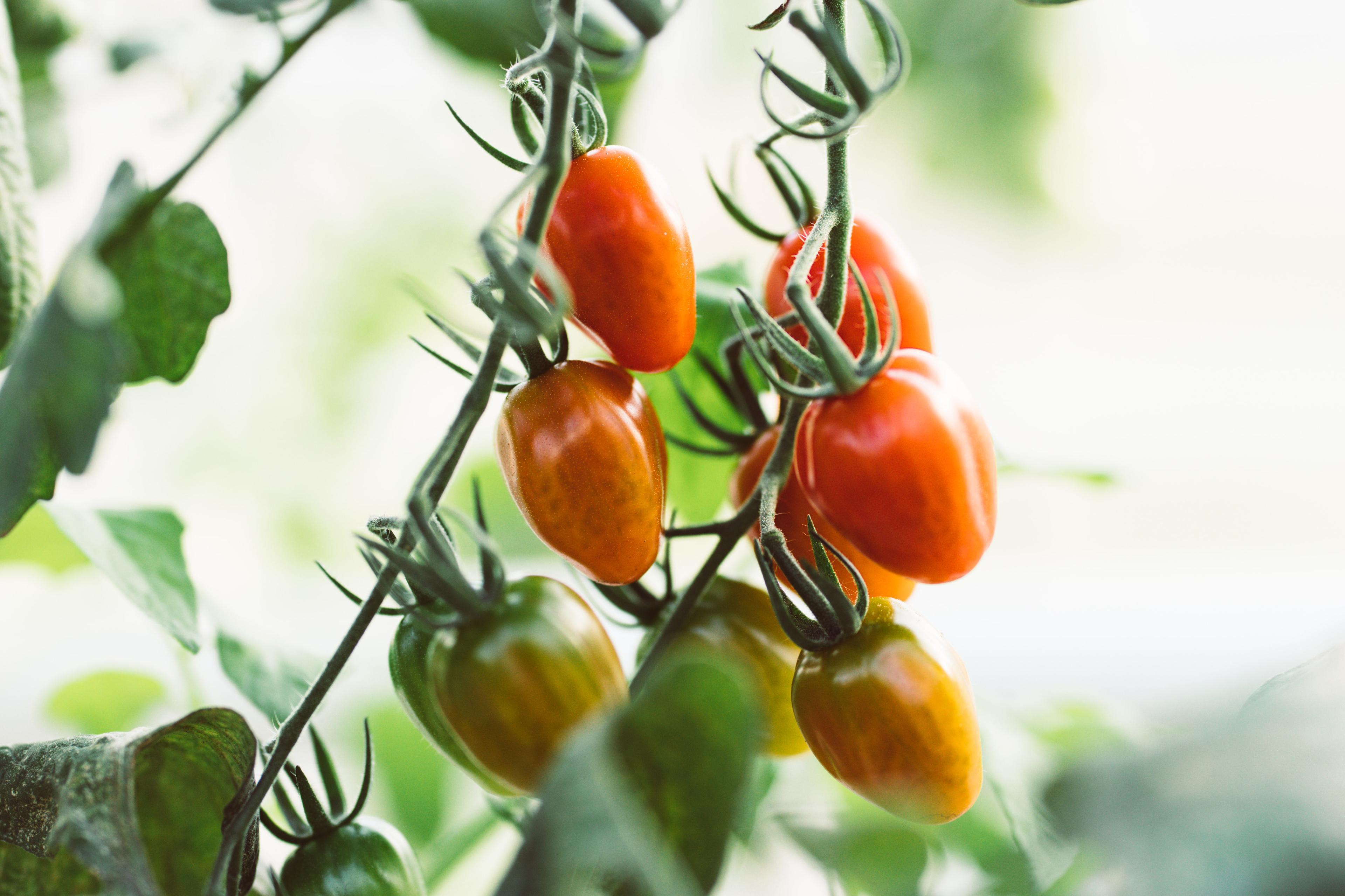 Tomat, agurk og salat - månedens smak i juli