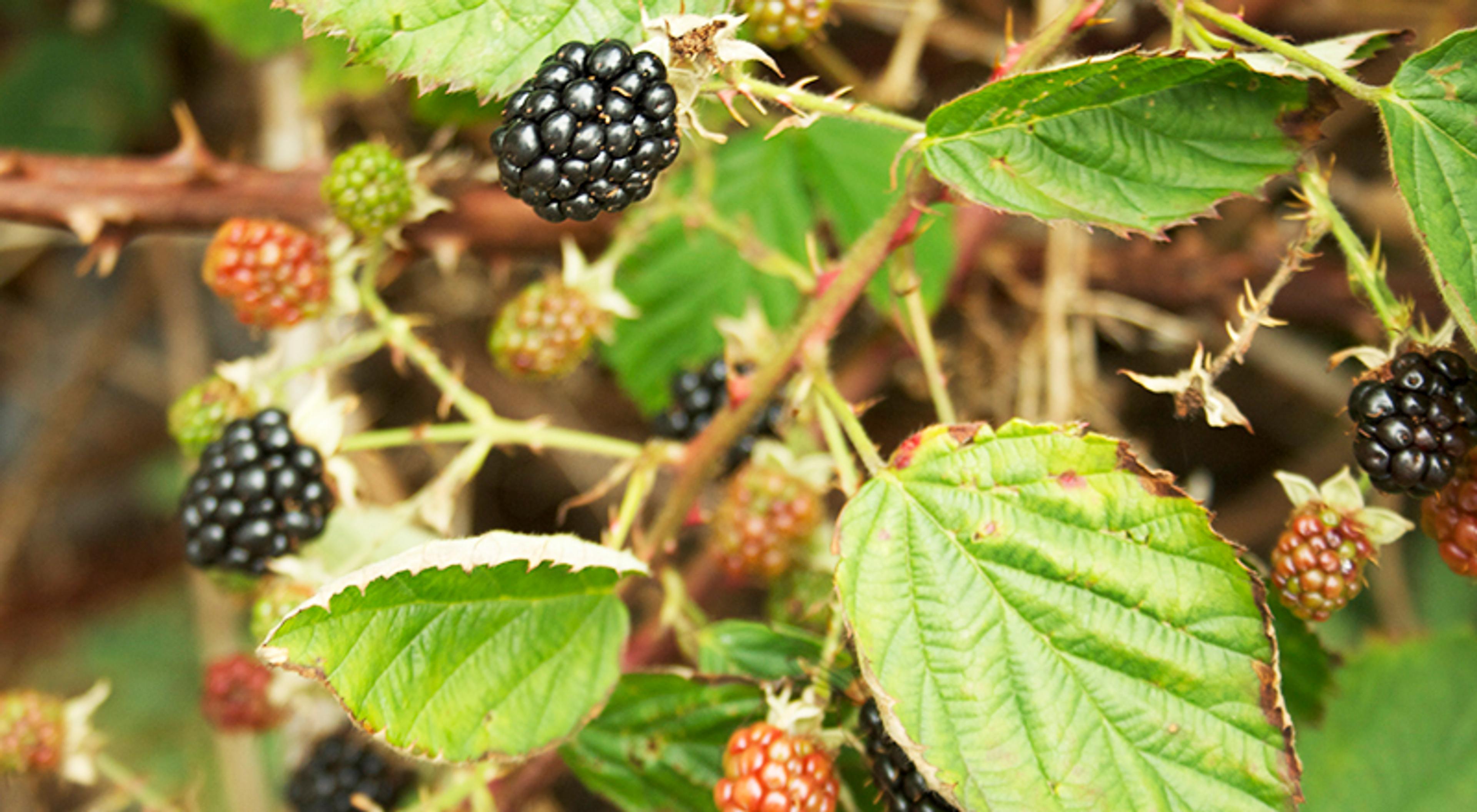 Hva er bedre enn bjørnebær om høsten?