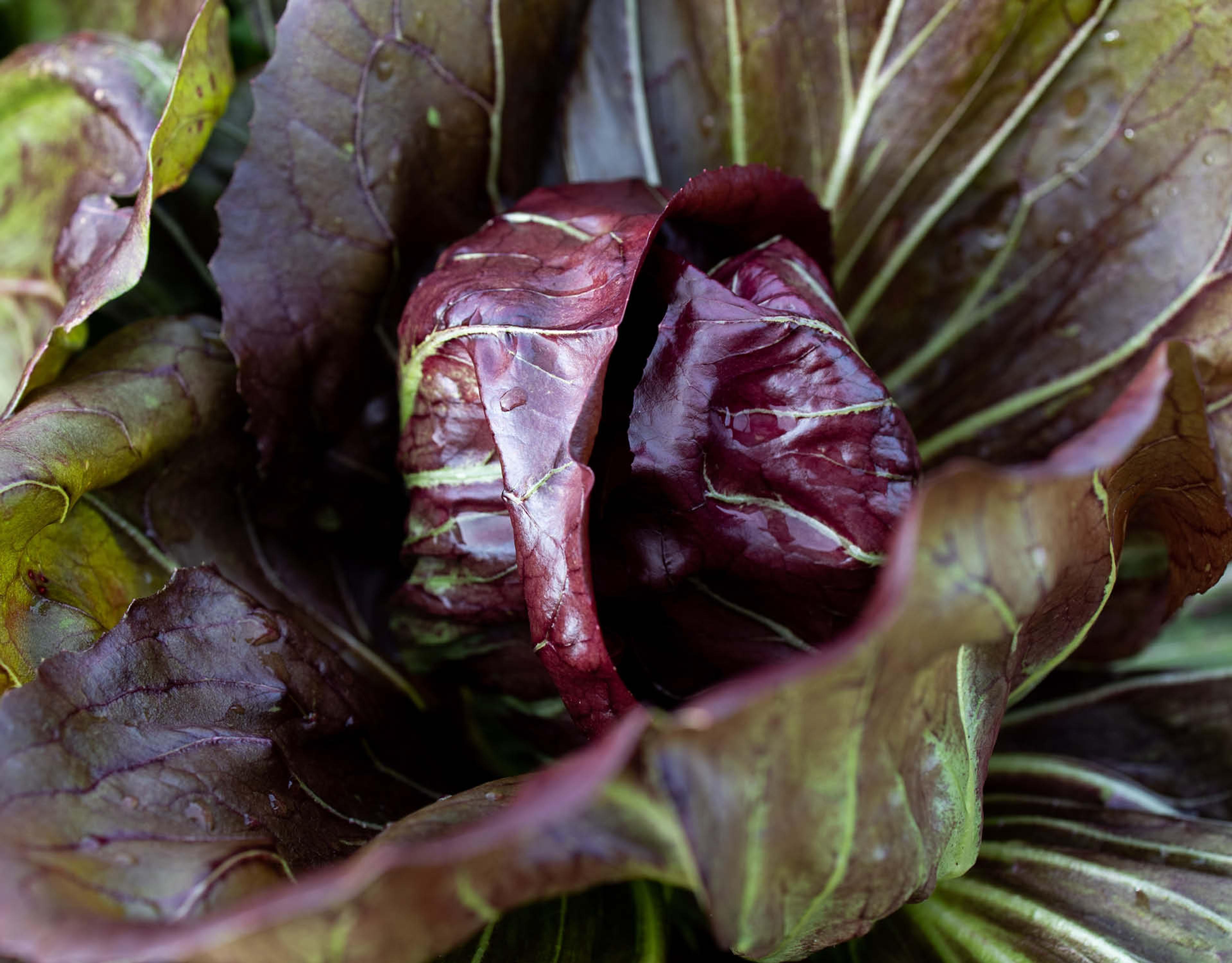 Salat med grillet radicchio rosso
