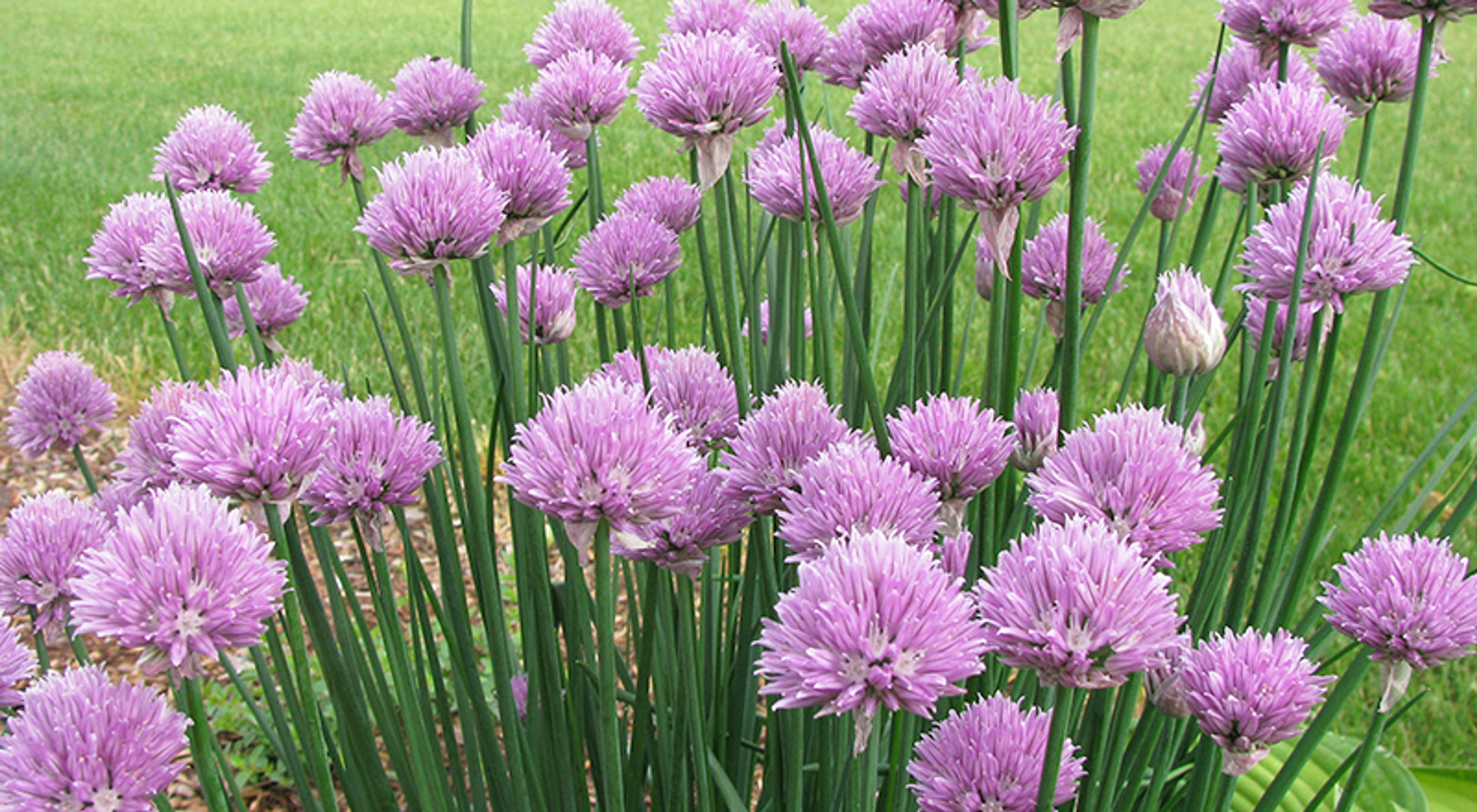 10 spiselige blomster