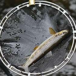 Den største fisken i sideelva var 16 cm lang. (Foto: KVB)