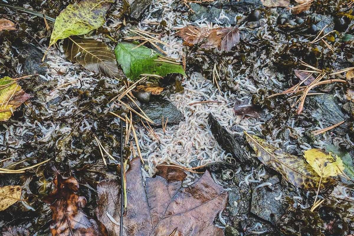 Død krill i Vargavågen. Foto: ØH