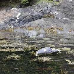 Laurdag blei den slept opp i denne fjøra på Ytterøya. (Foto: KVB)