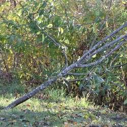 Tauet hang i pæretreet, for å retta det opp. (Foto: Kjetil Vasby Bruarøy)