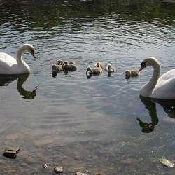 Det blei sju ungar i år. (Foto: KVB)