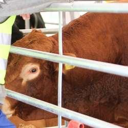 Kor mykje denne oksen vog kunne folk tippa på (foto: AH)