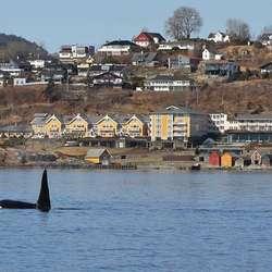 Er du heldig kan du om vinteren sjå spekkhoggarar mellom Sandholmane og Solstrand. (Foto: KVB)