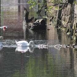 Etter ein tur ut elva kom flokken opp igjen for å beita bak banken. (Foto: KVB)