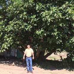 Her kan du eta fiken frå dette 300 år gamle treet. (Foto: Os Travel)