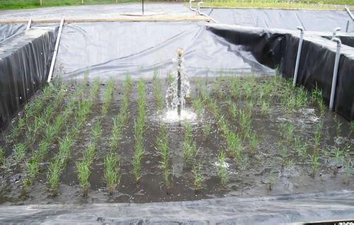 Sludge Drying Reed Beds - Case Study Photo
