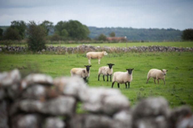 Sheep in a field DSC_5527