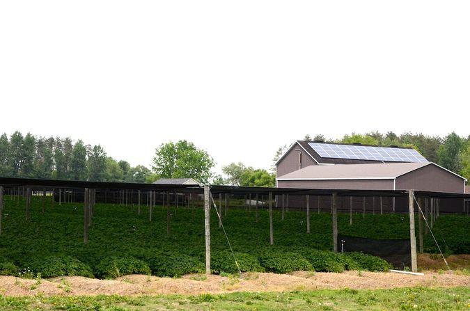 Ginseng growing beneath tobacco screens.