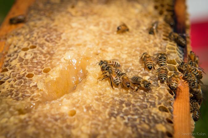 Honeybees on frame of honeycomb