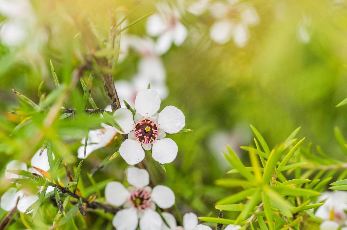 Manuka Tree Flower