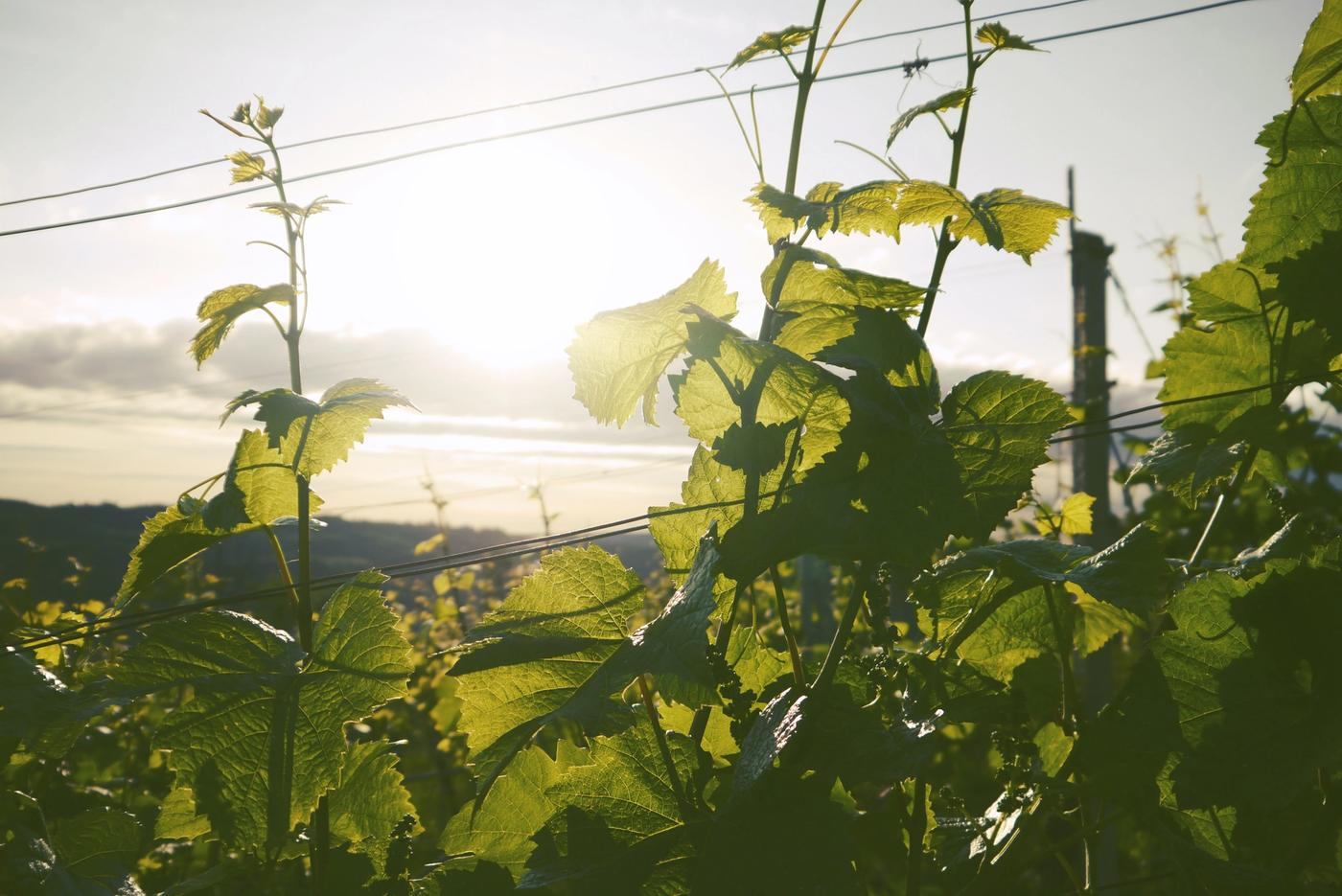 Vineyard with sun streaming in