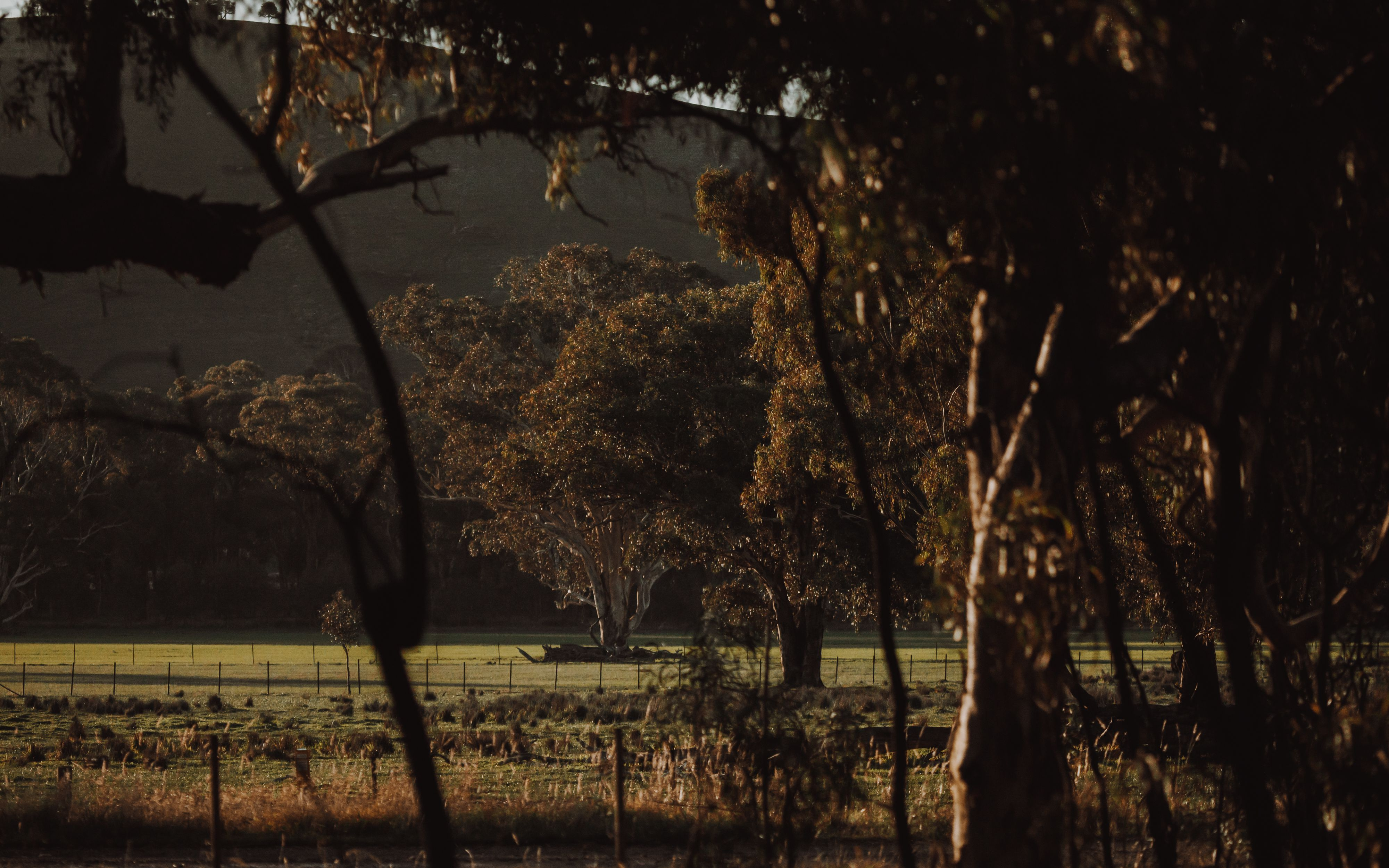 :andscape scene of large gum trees in Upper Murray Valley, NSW
