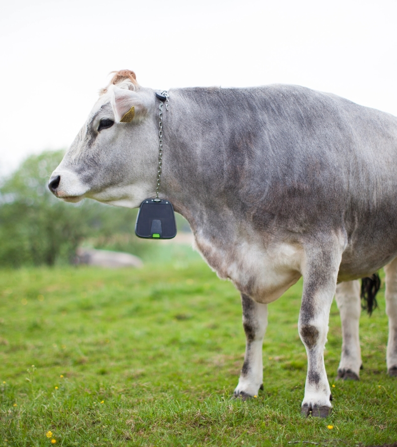 The world's first virtual fence for cattle