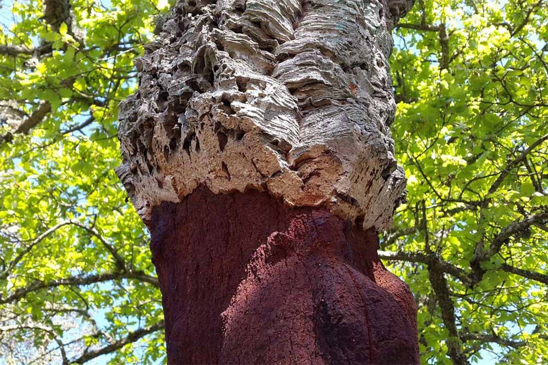 Cork Oak Kurkasa Cork Material Matters Feature