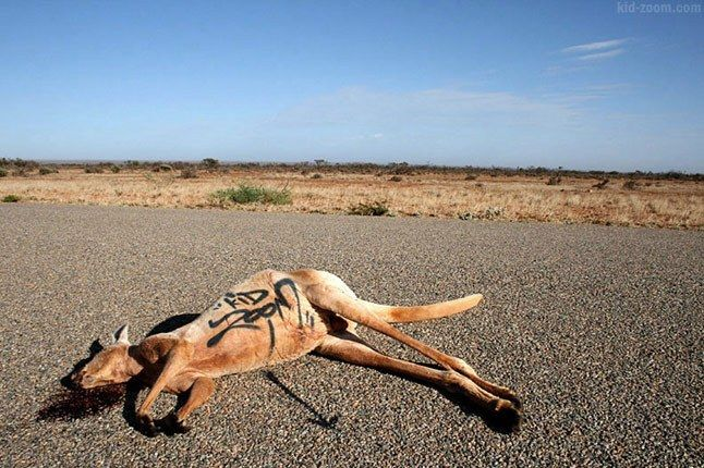 3Kidzoom Kangaroo 1
