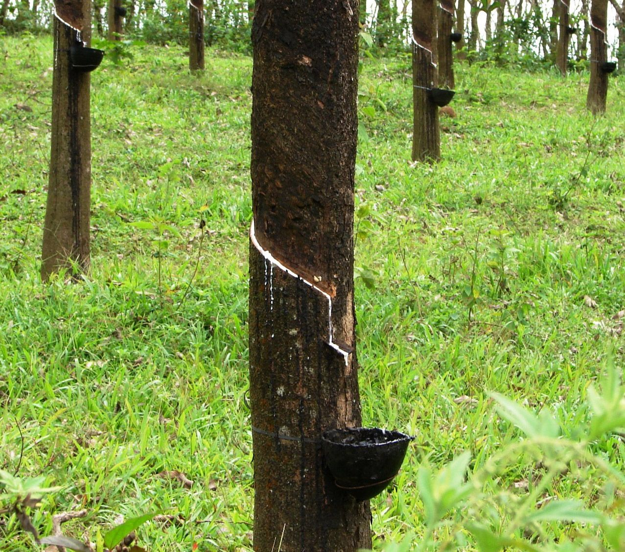 Material Matters Rubber Trees Square2