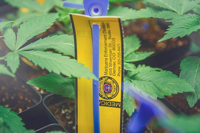 Akomplice Marijuana For The Future Collection 9