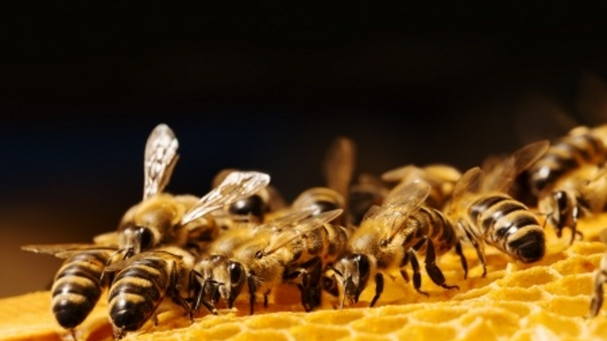 Honey Bees on a honeycomb