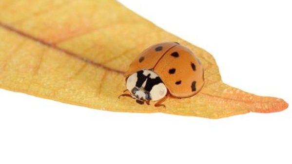 asian beetle on a leaf