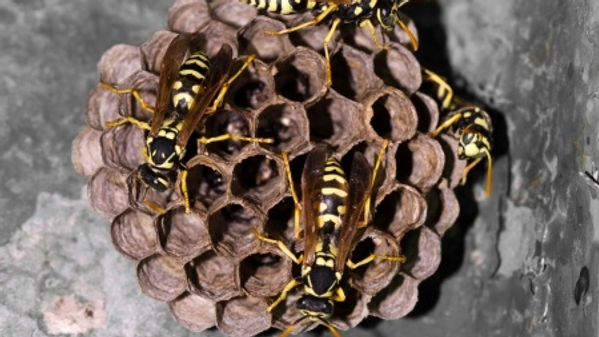 Paper Wasps on a hive