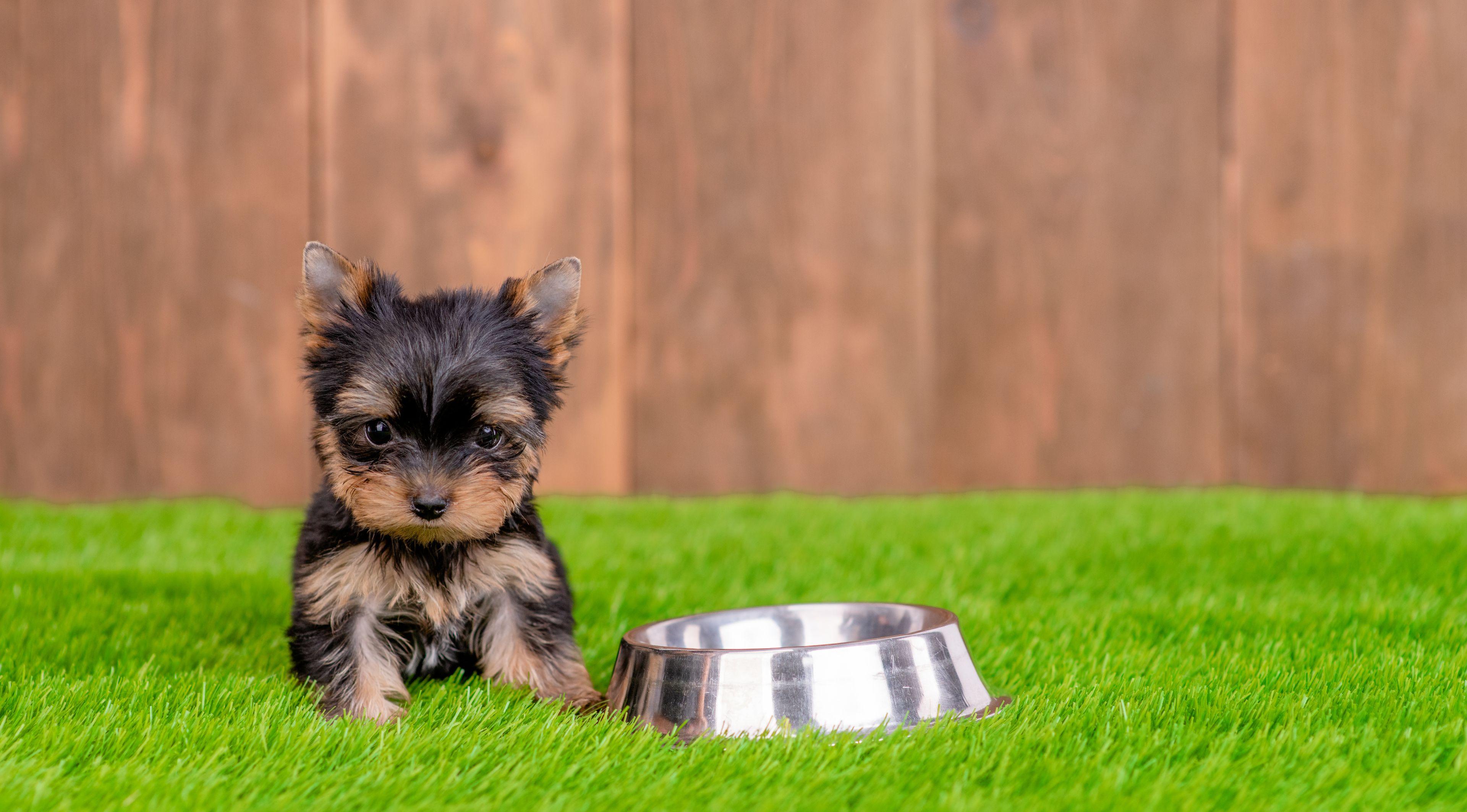 cucciolo di yorkshire