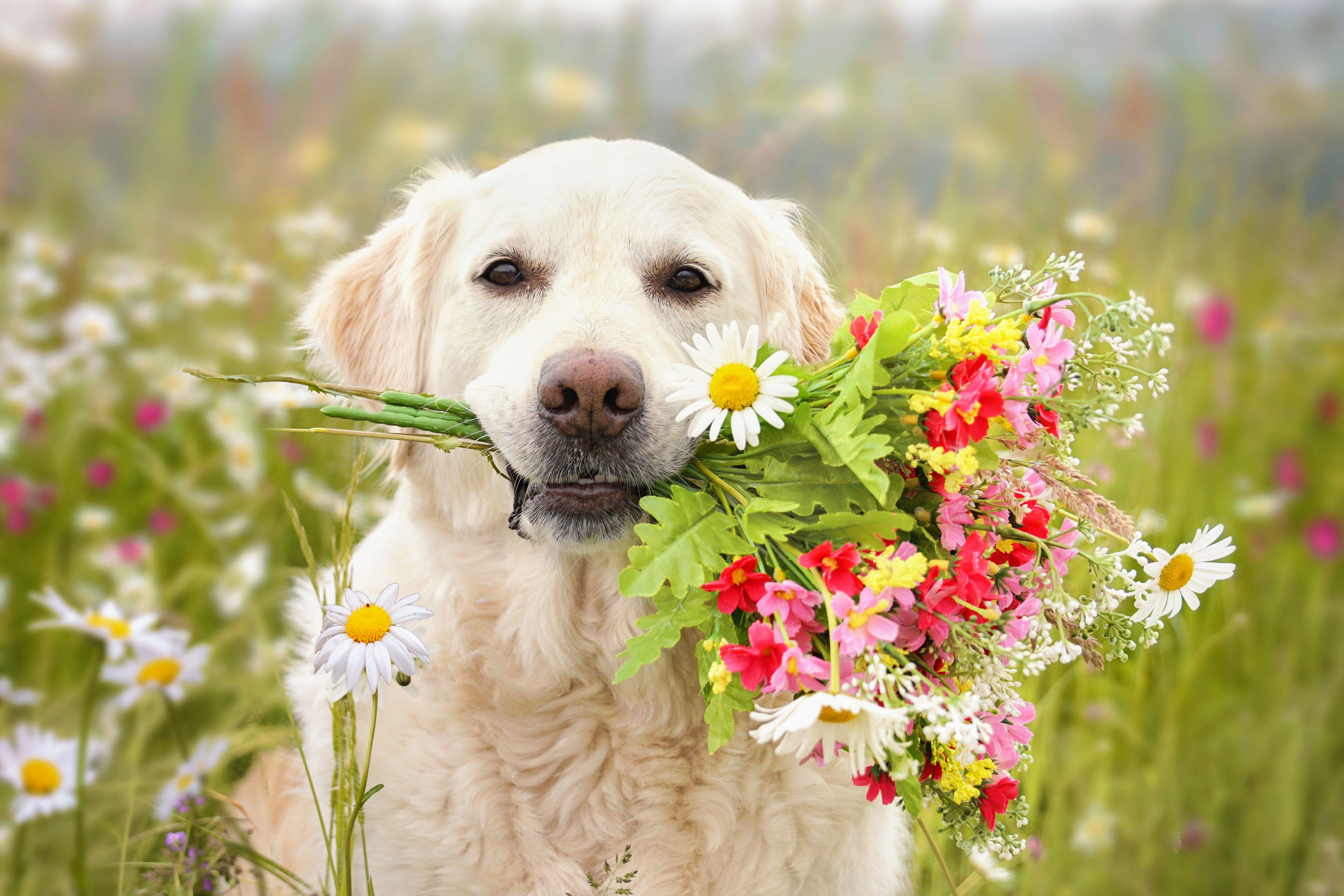 golden retriever con fiori