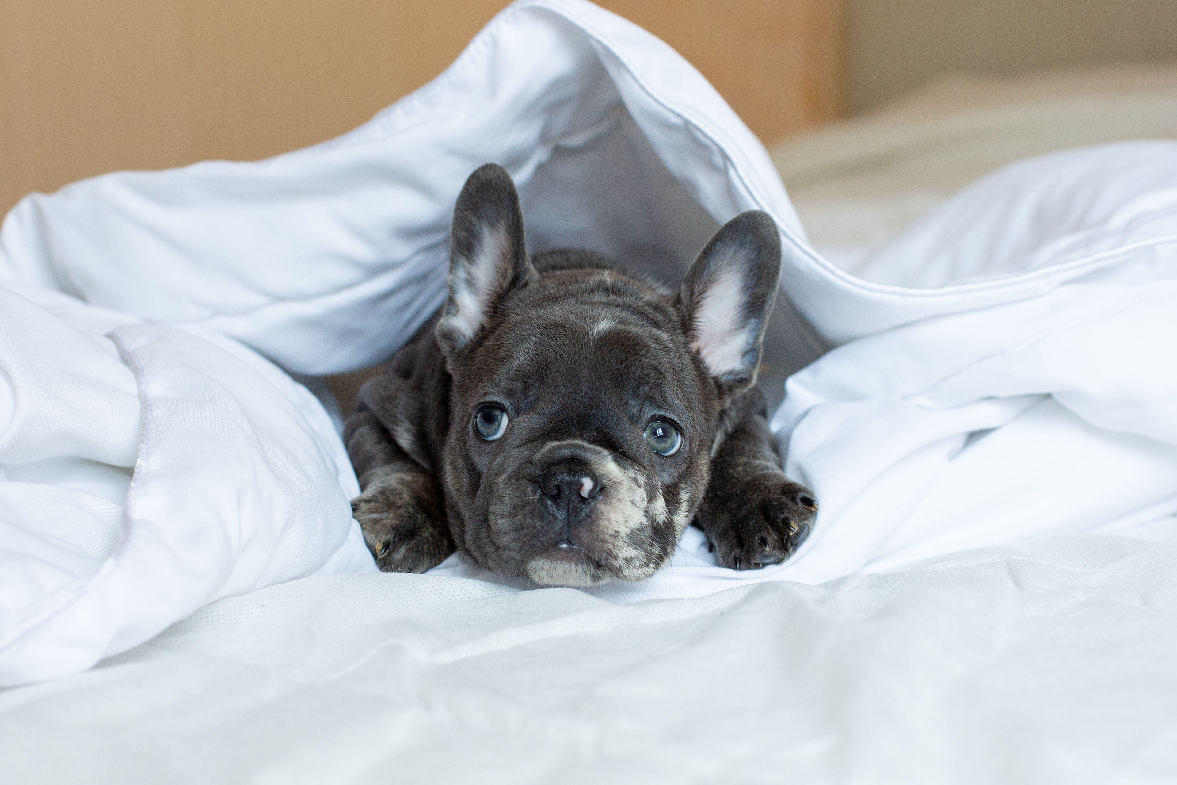 bulldog francese a letto