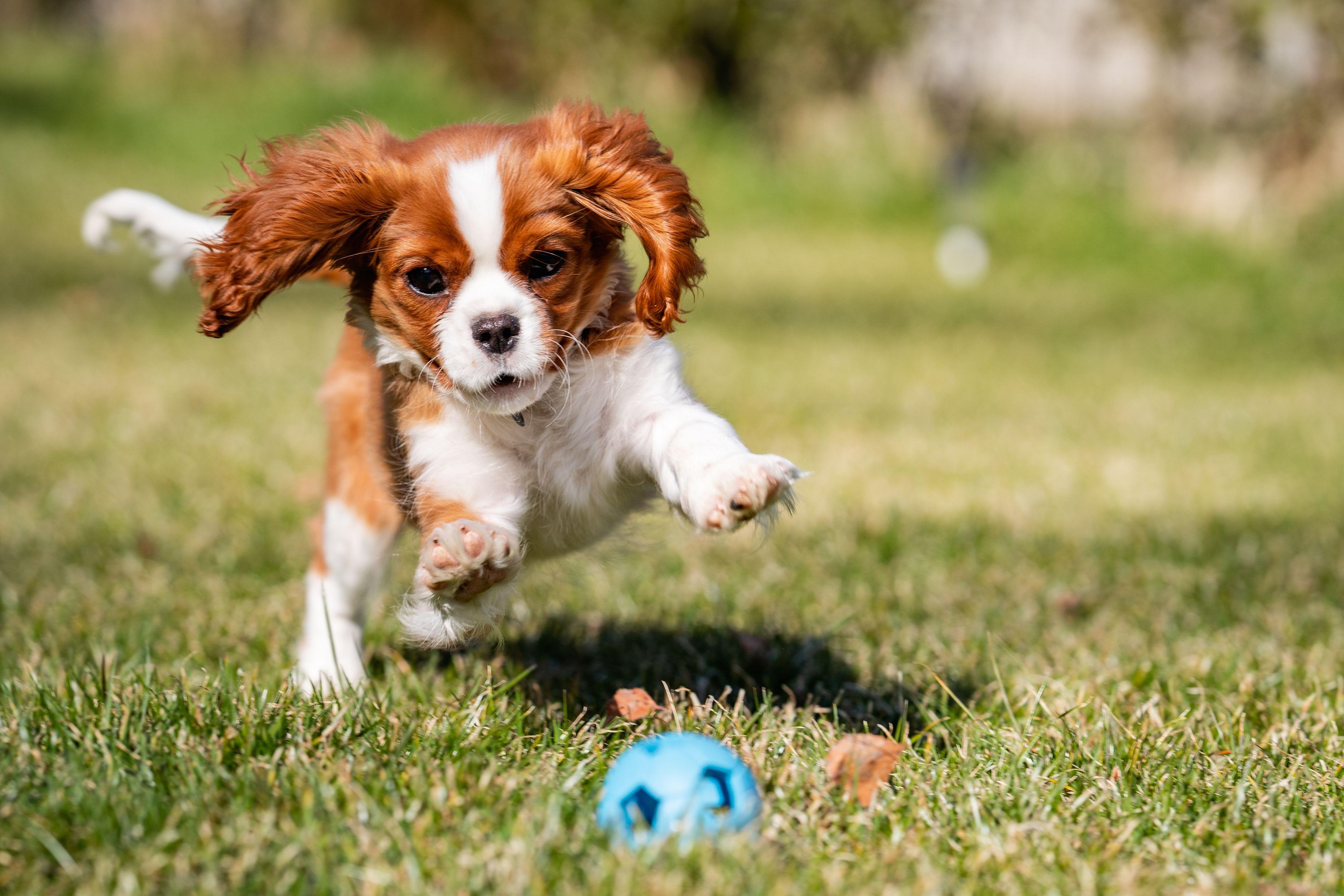 cane che rincorre una pallina in giardino