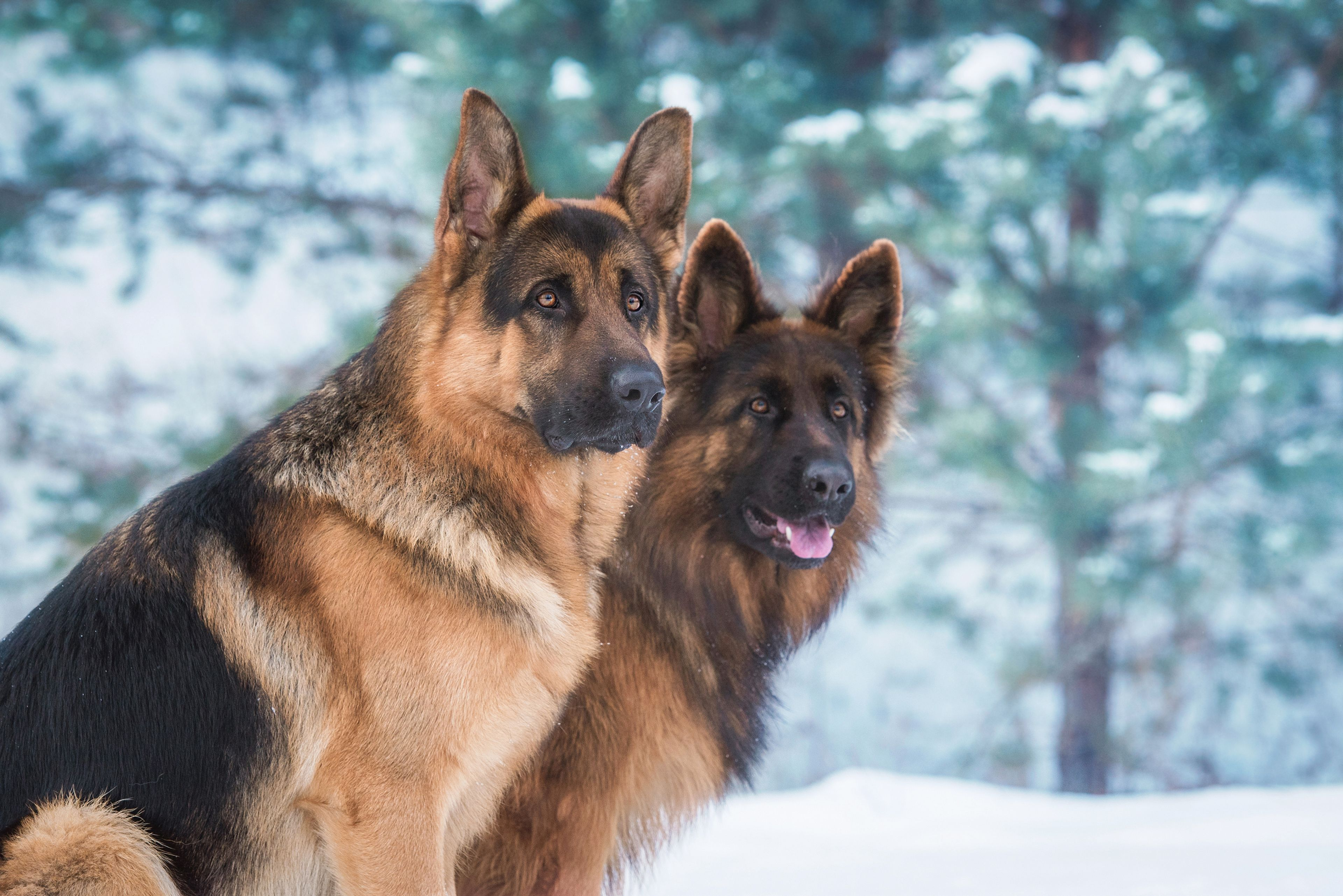pastori tedeschi in natura