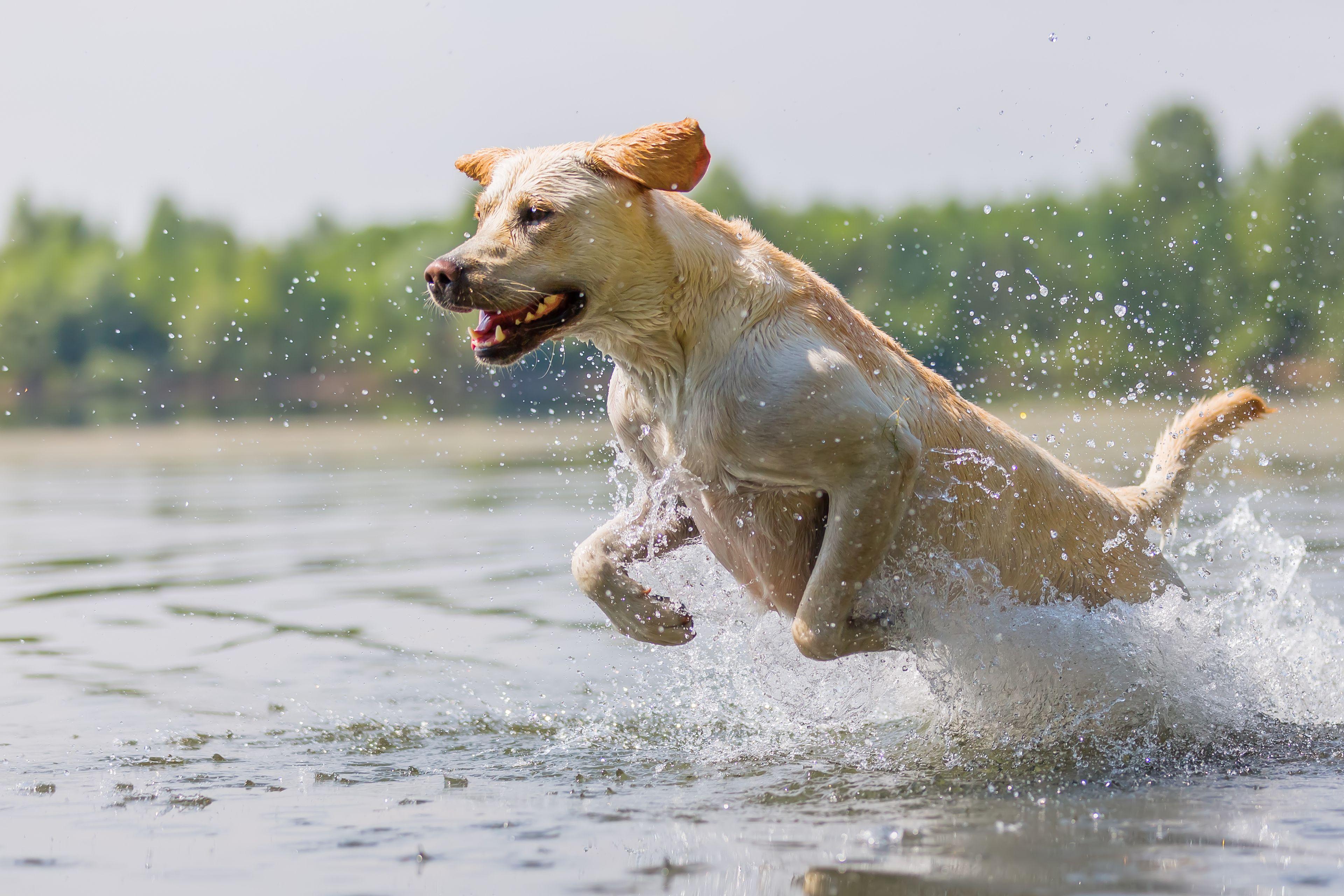 cane labrador che gioca nell'acqua
