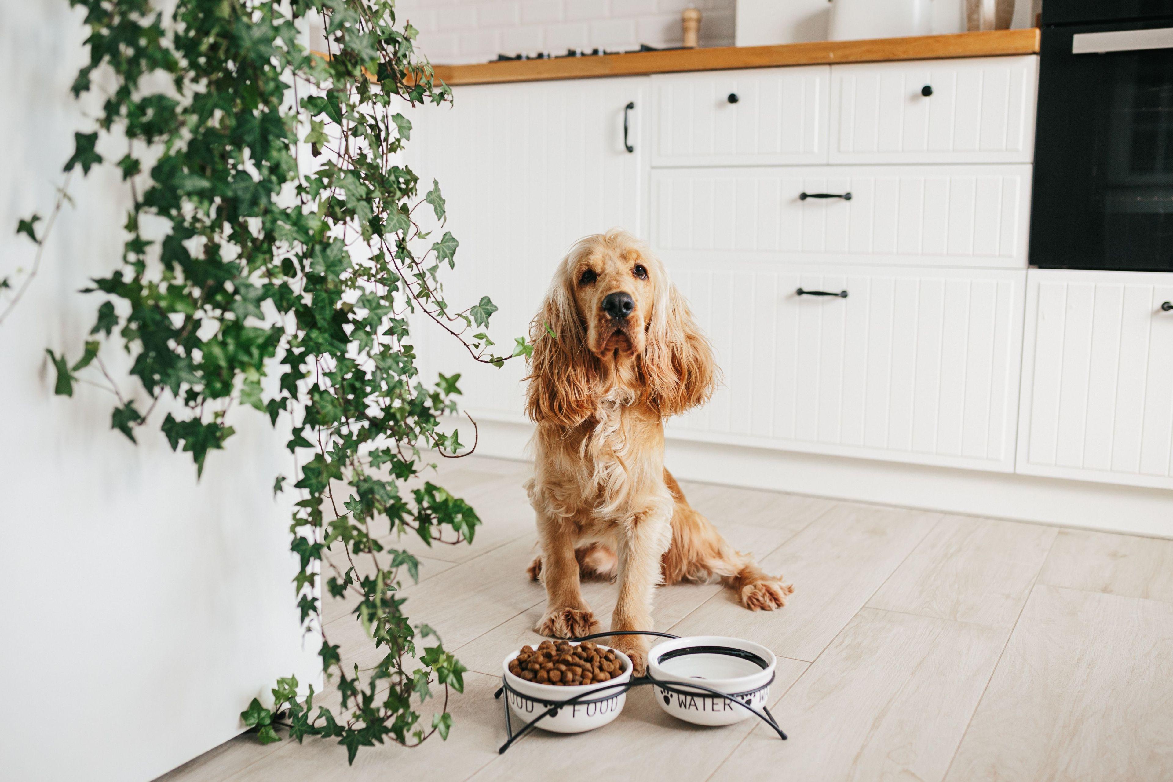 Un cane mangia da una ciotola