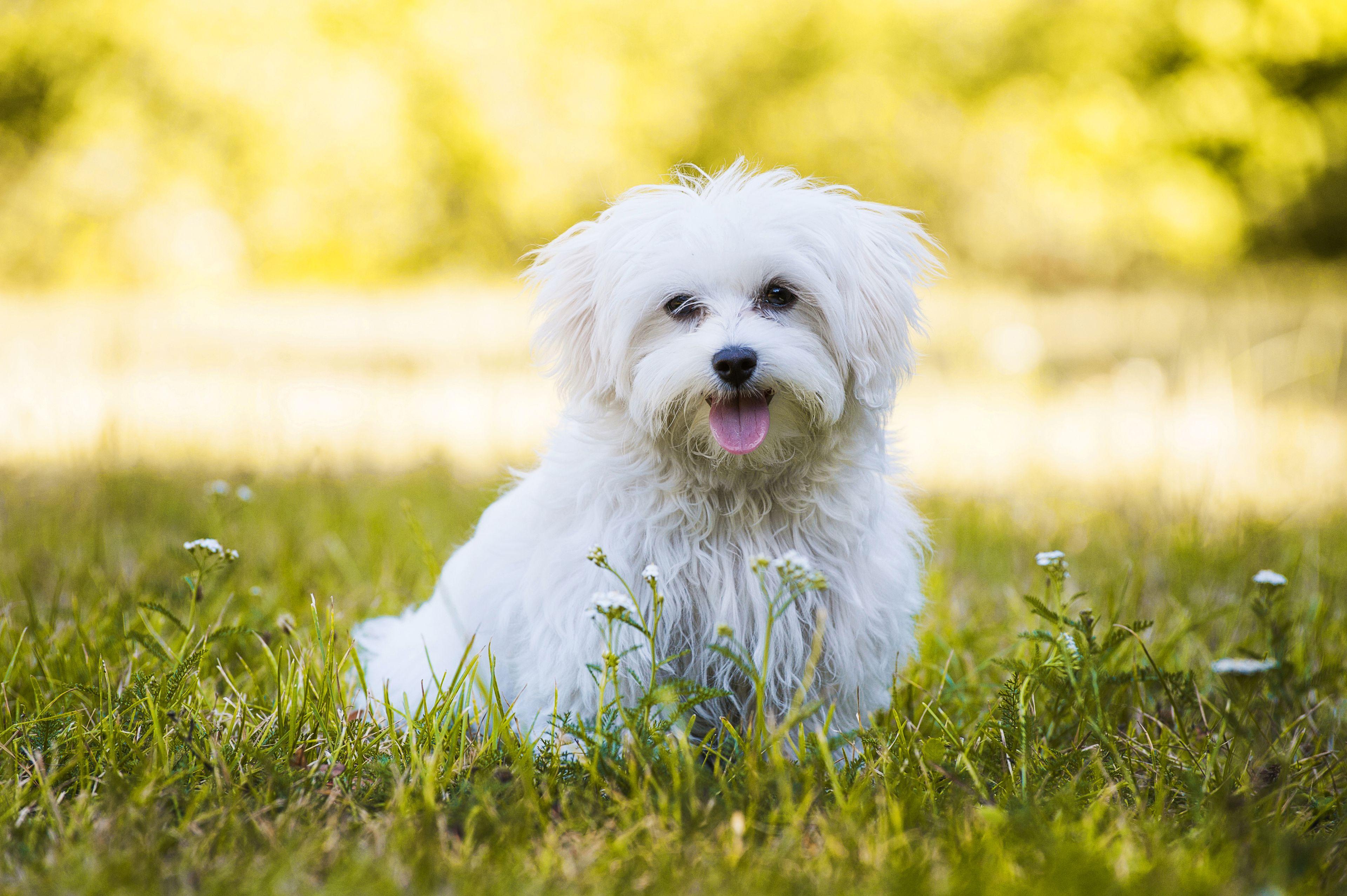 cane maltese in giardino