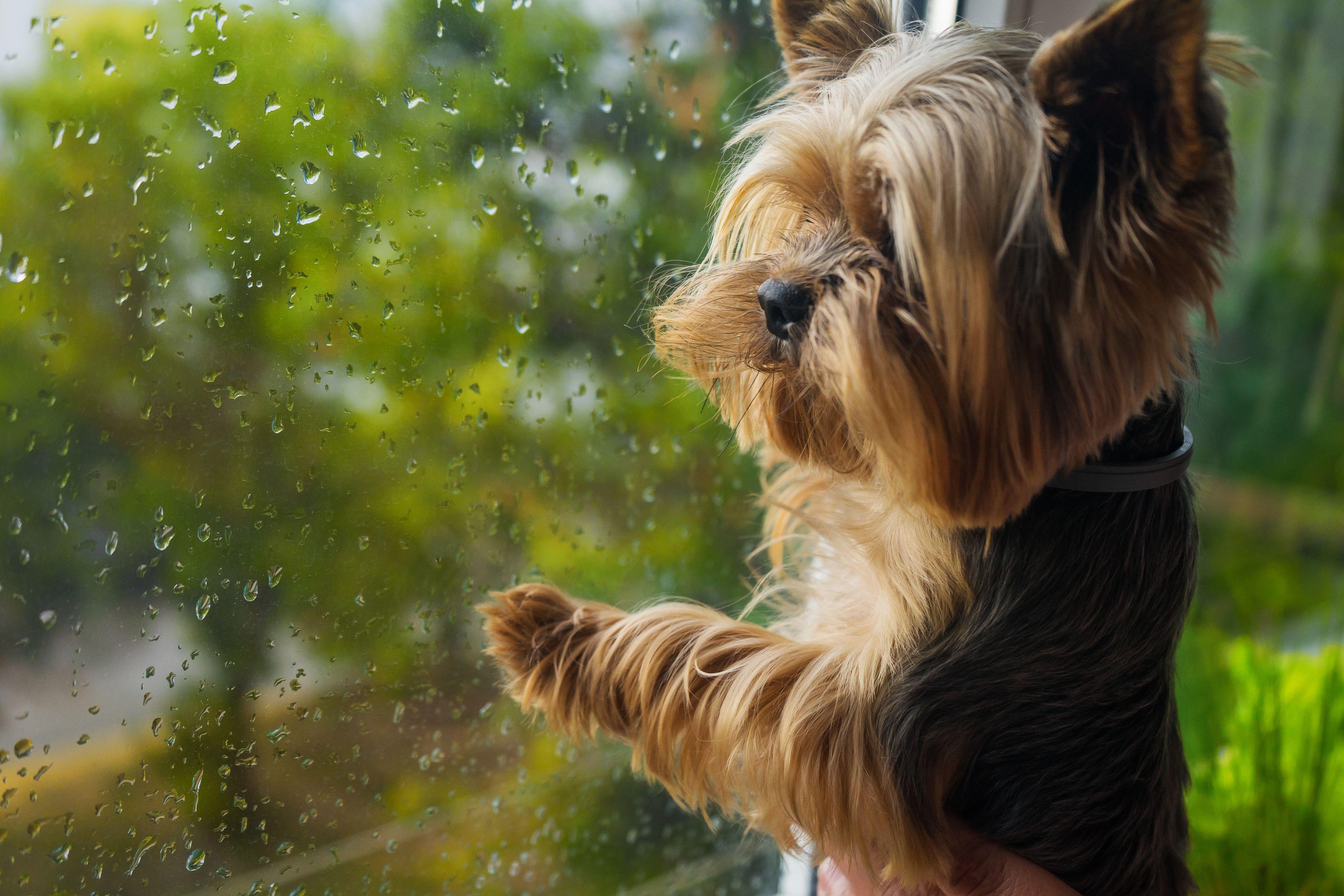 Yorkshire terrier alla finestra