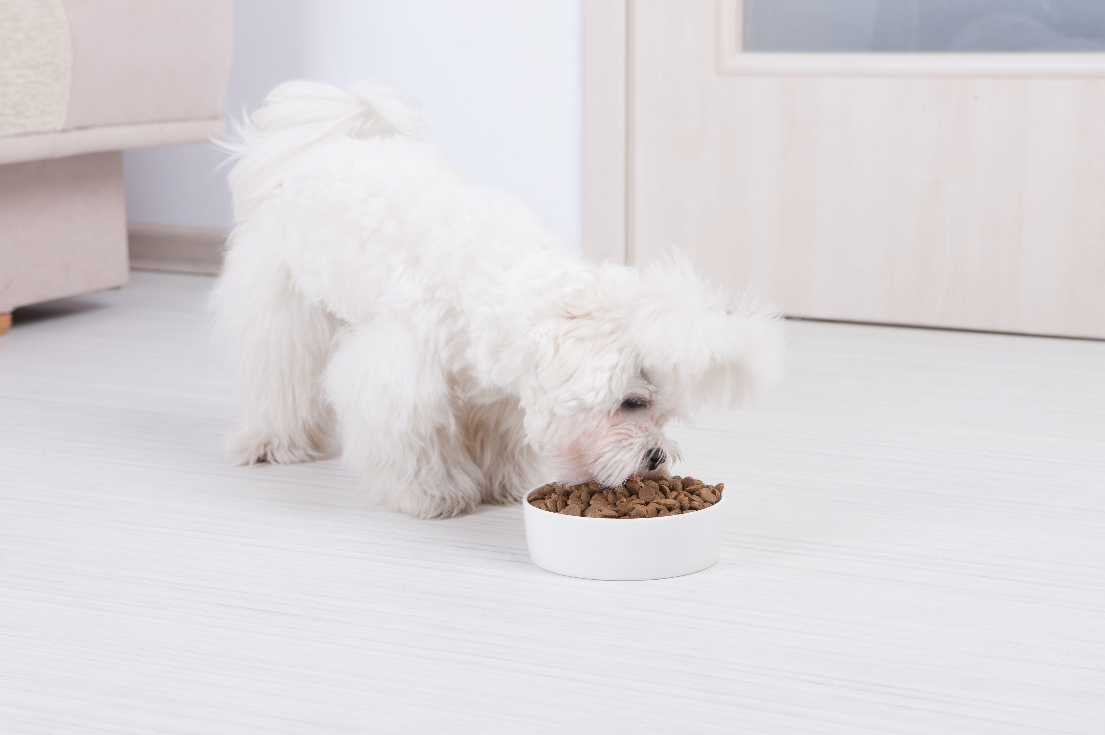maltese cane con cibo