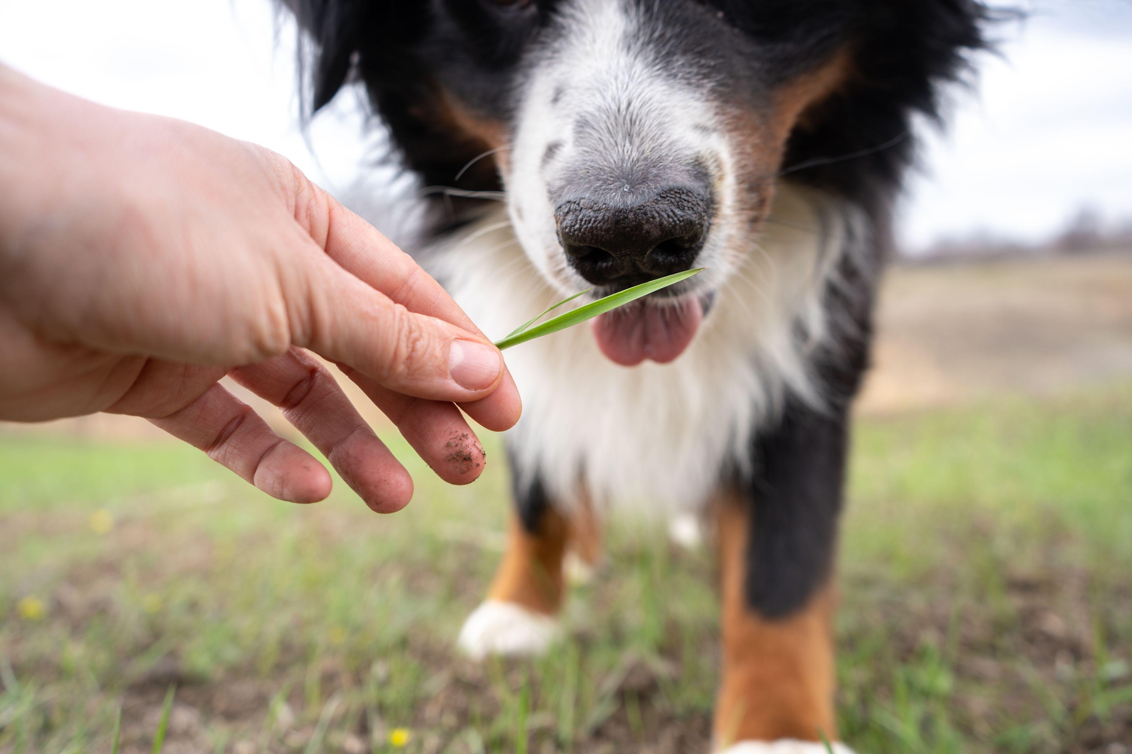 cane assaggia erba dal padrone