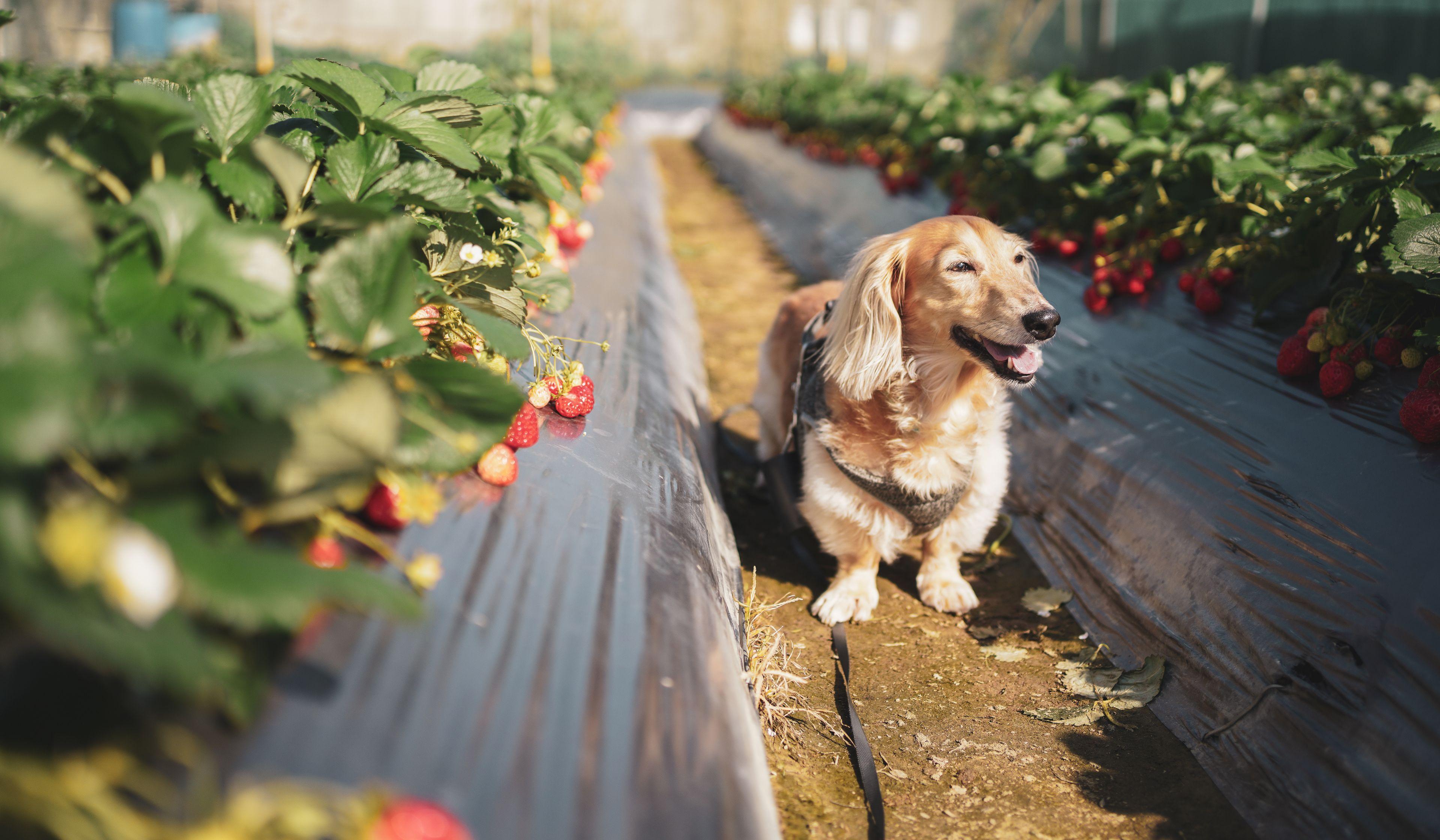 cane a caccia di fragole