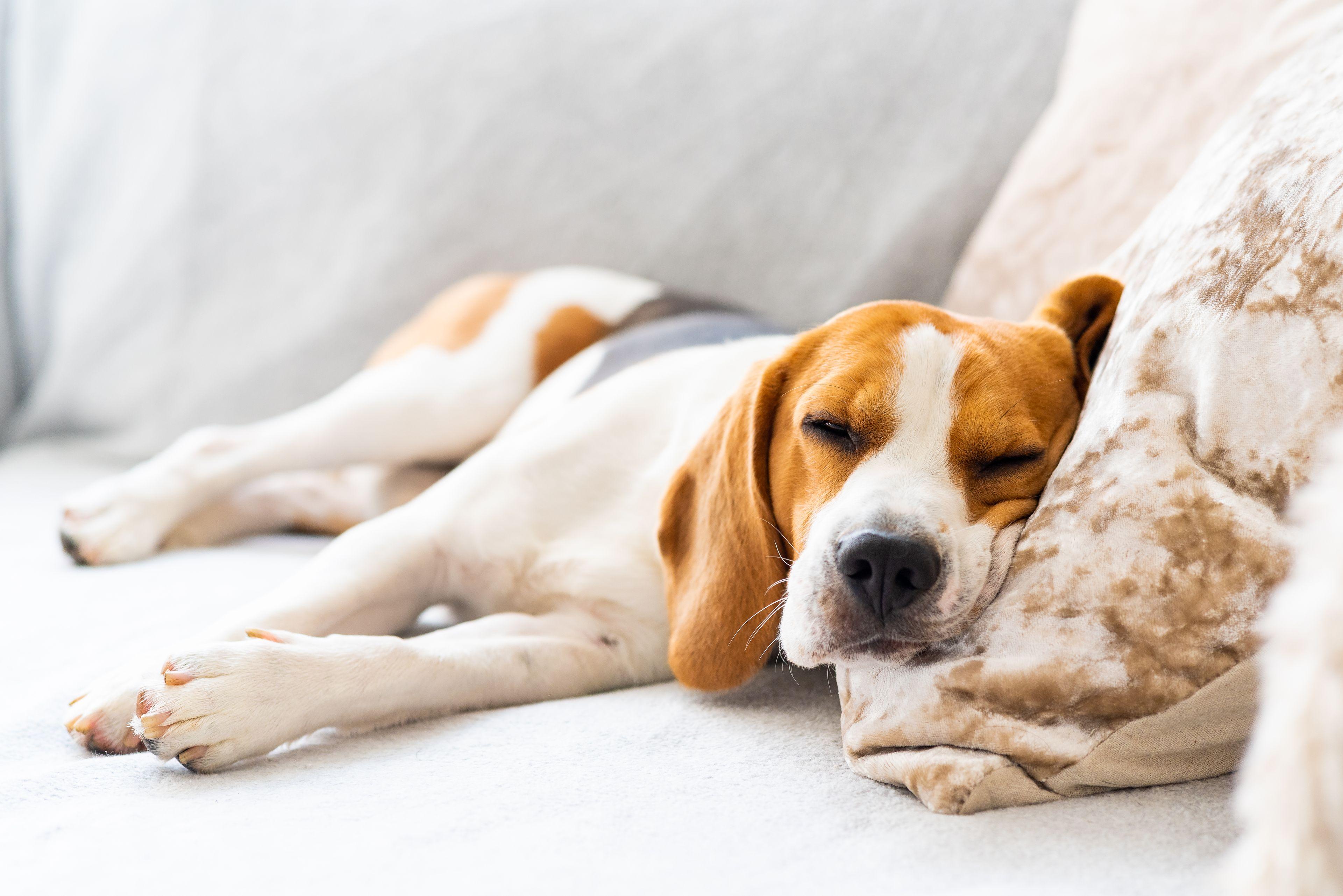 cane che si rilassa sul divano
