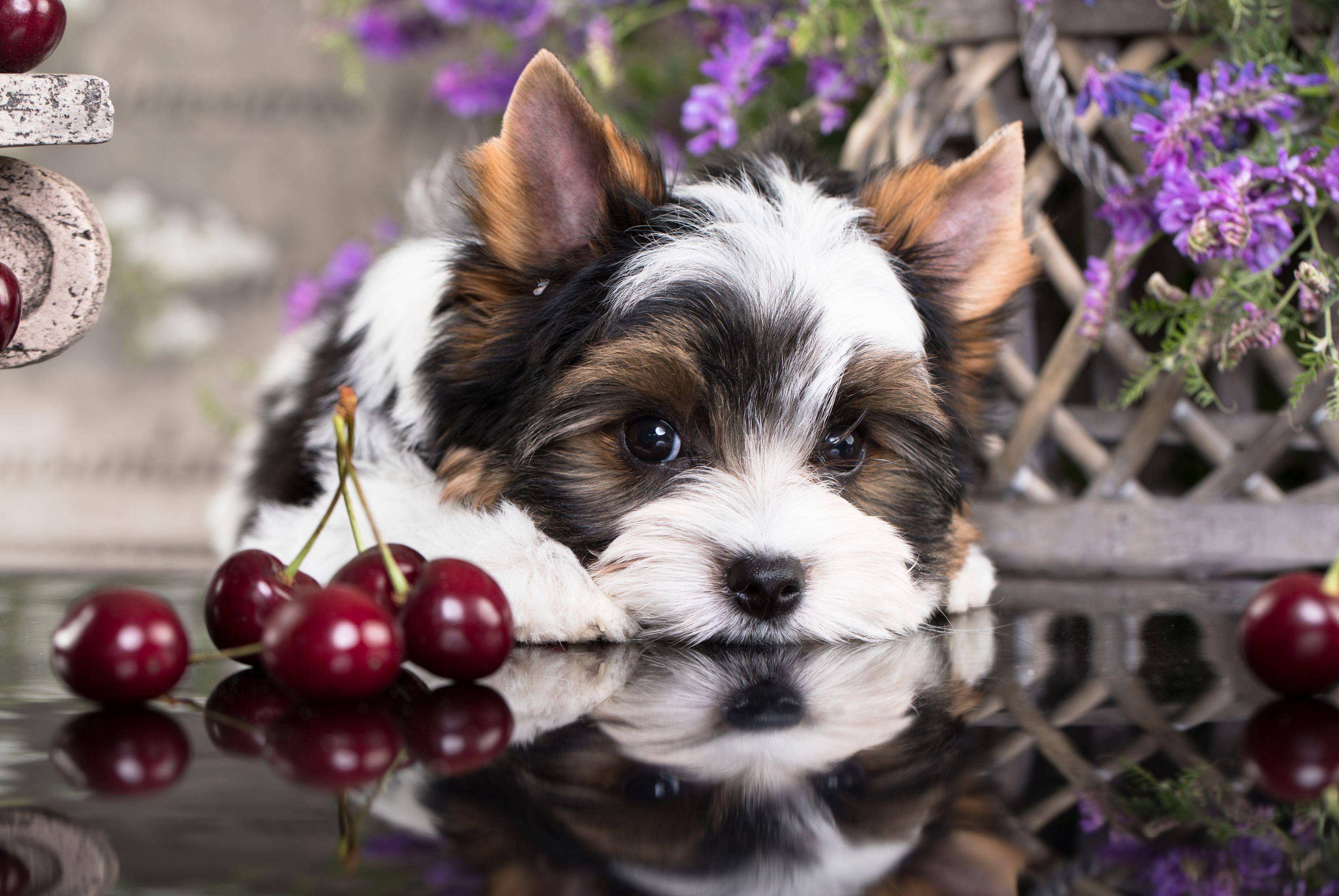 yorkshire terrier che desidera le ciliegie