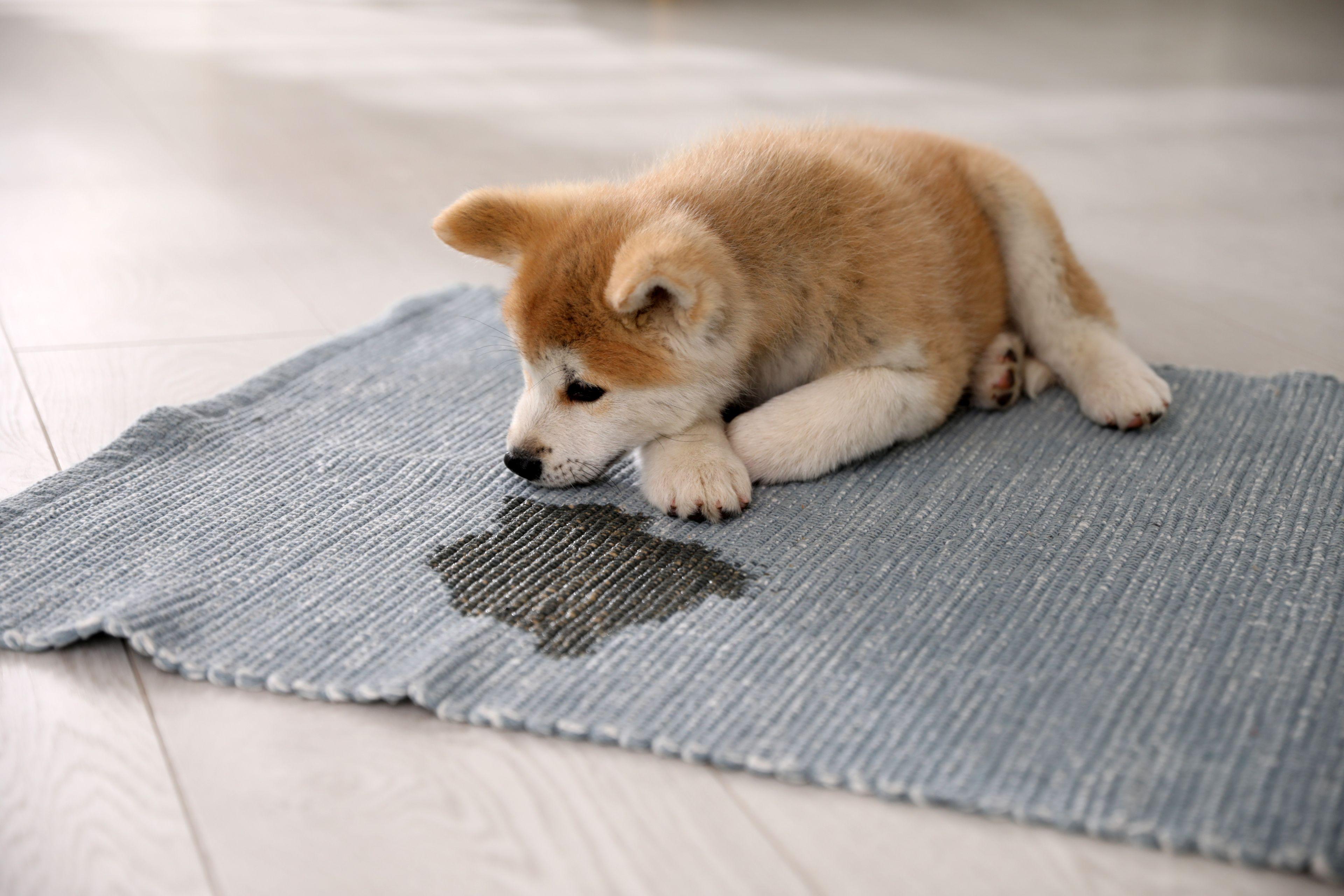 cane sporca il tappeto