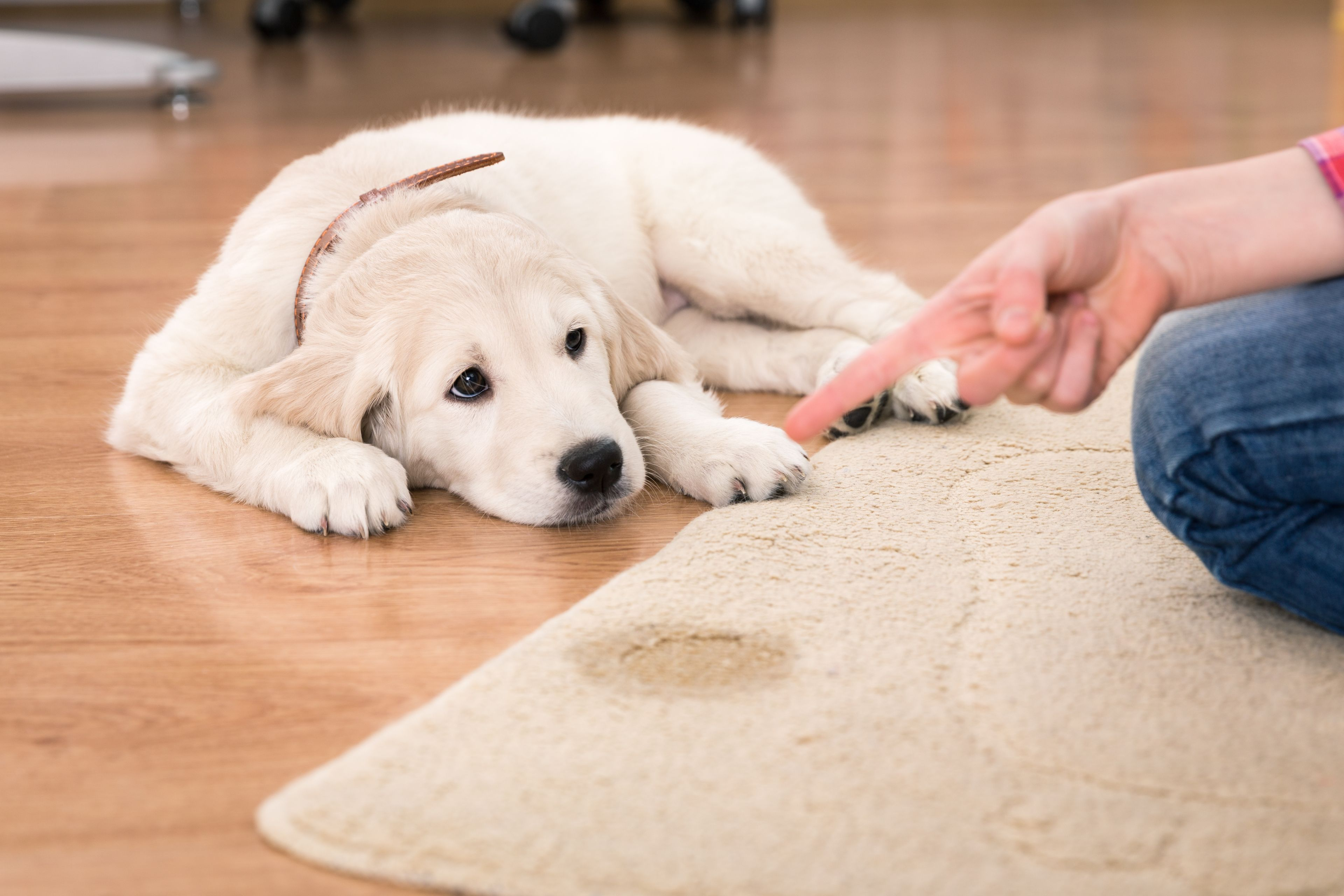 educare il cane a non sporcare il tappeto
