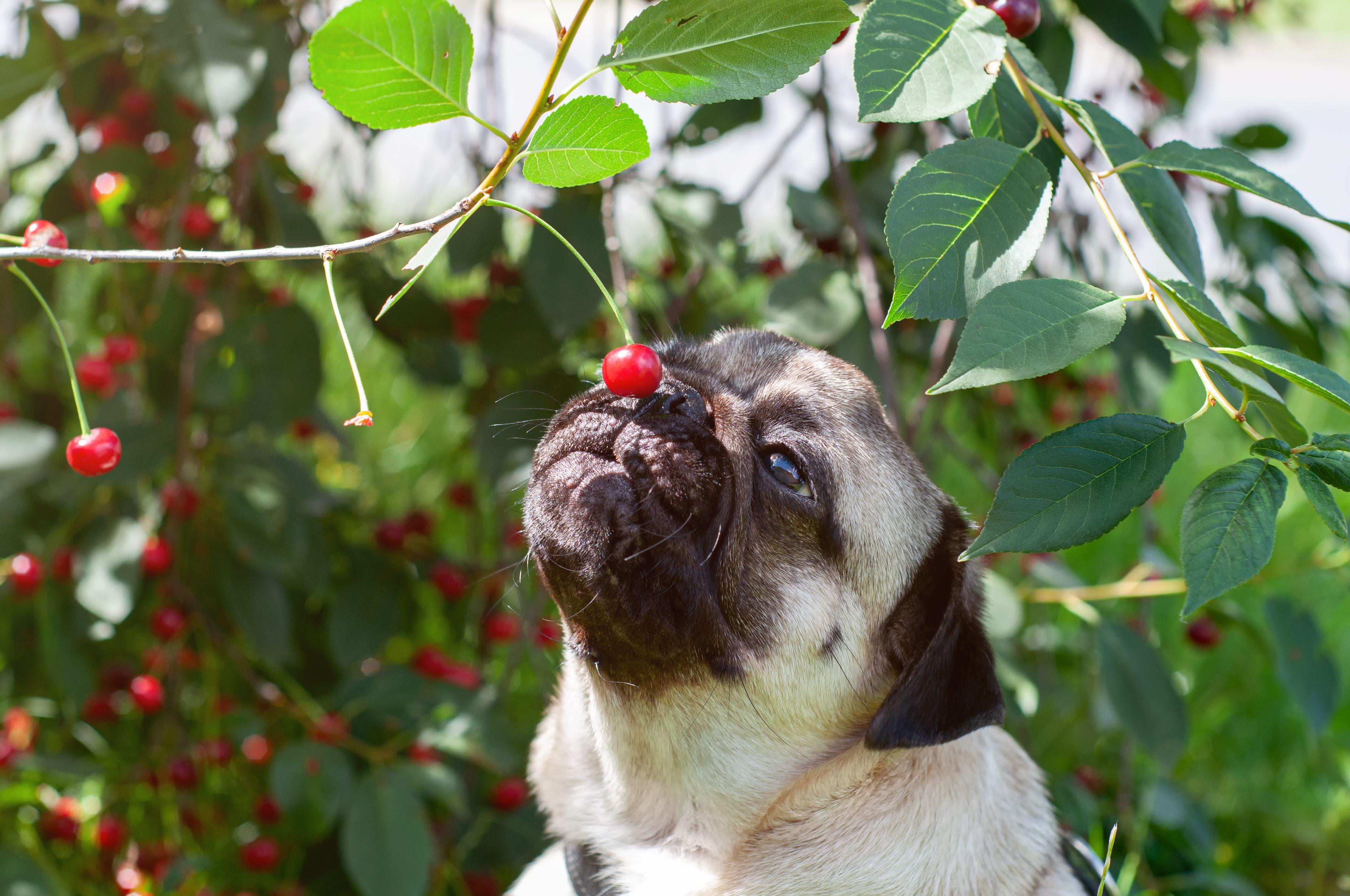 cane che annusa una ciliegia