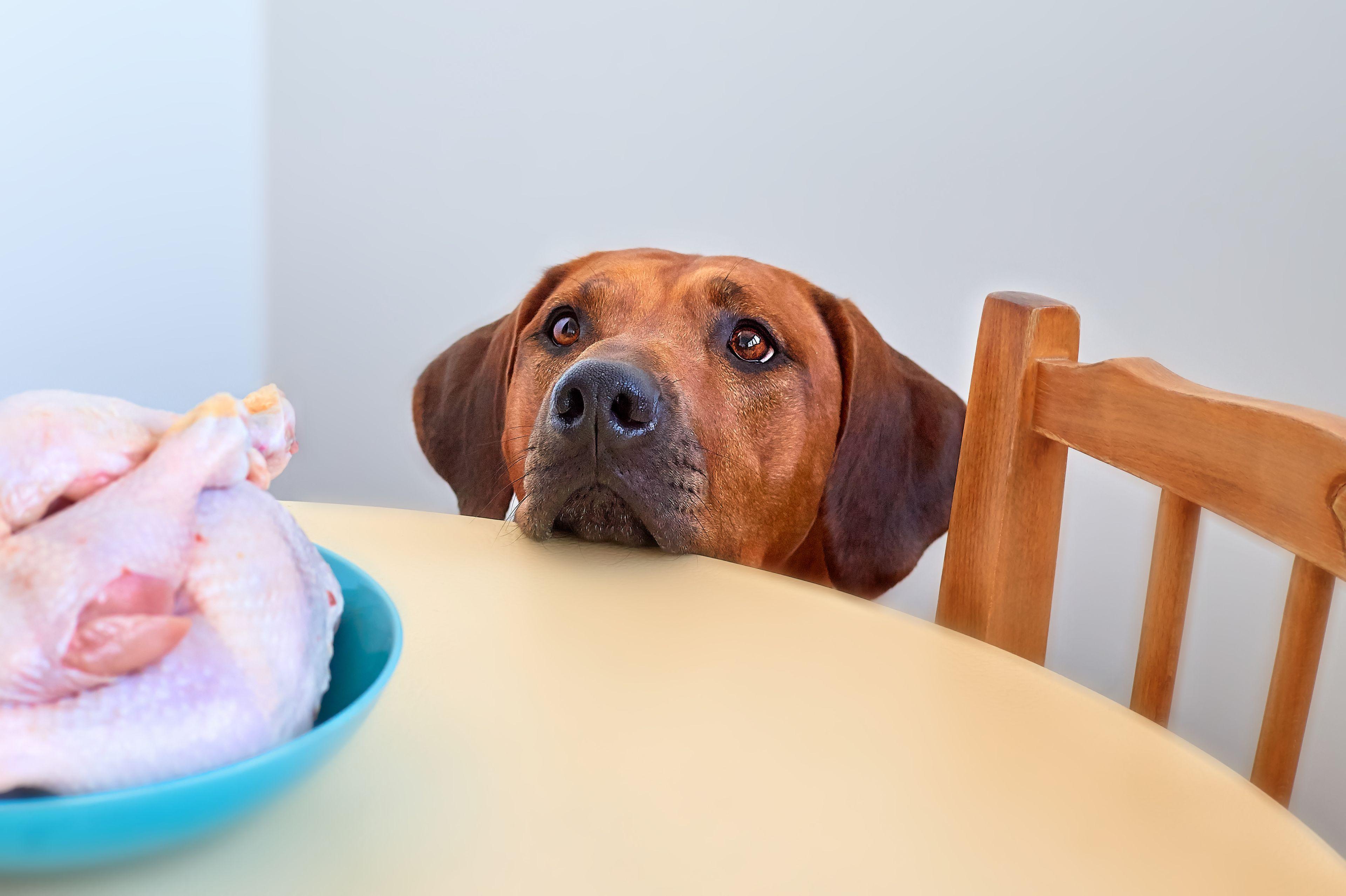 cane attende il cibo