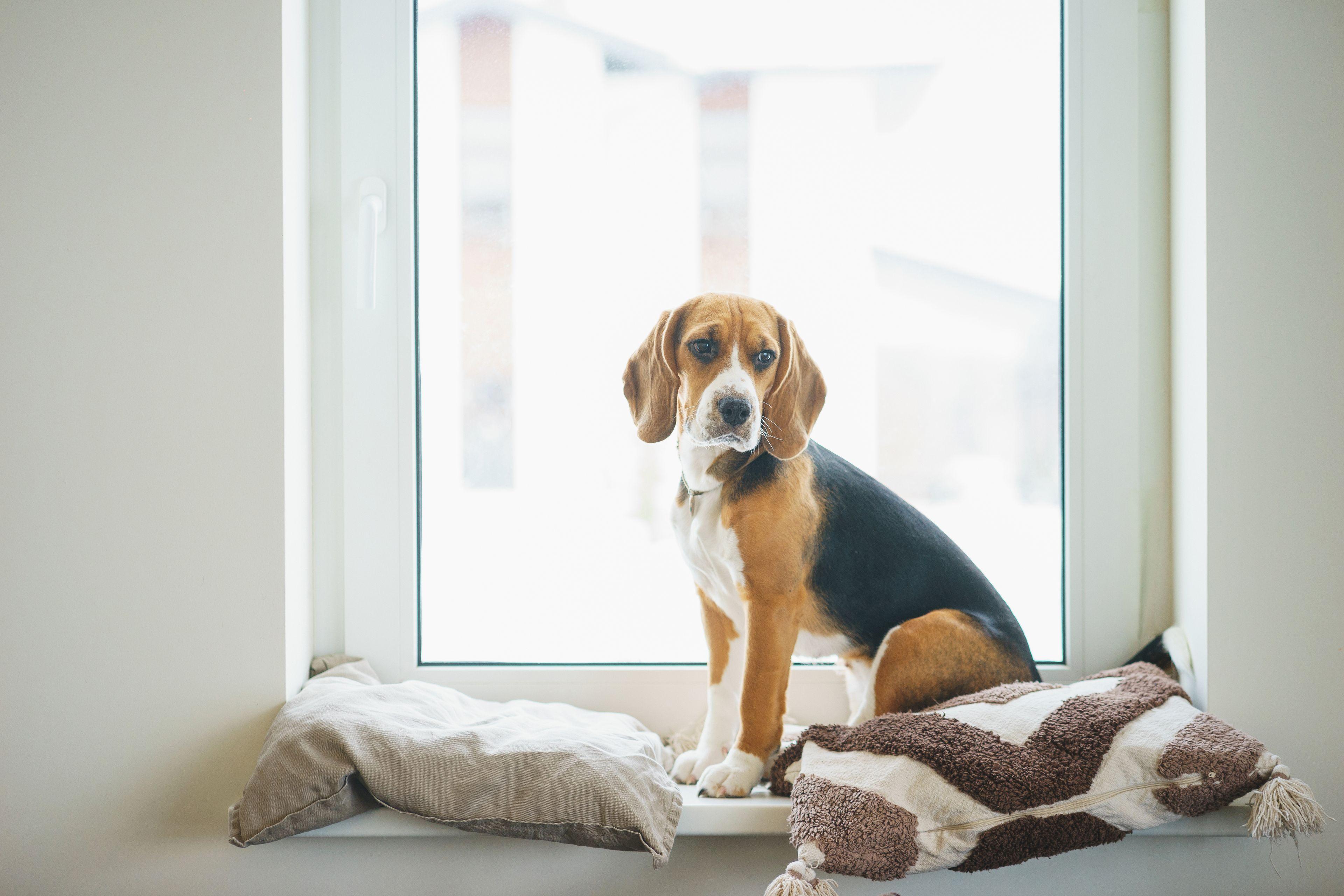 cane beagle alla finestra